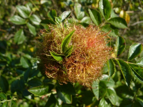 Robin's Pincushion Gall