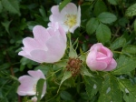 Dog Rose buds (Rosa canina)