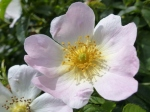 Dog Rose Flower (Rosa canina)