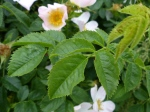 Dog Rose Leaf (Rosa canina)
