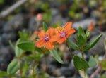 Scarlet Pimpernel flower (Anagallis arvensis)