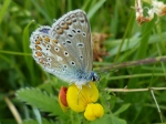 Common Blue on Bird's-foot Trefoil