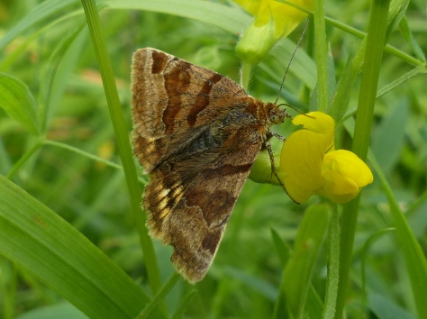 Burnet Companion on Bird's-foot Trefoil