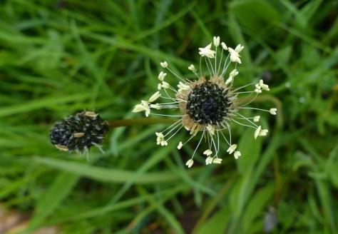 Ribwort Plantain Plant (Plantago lanceolata)