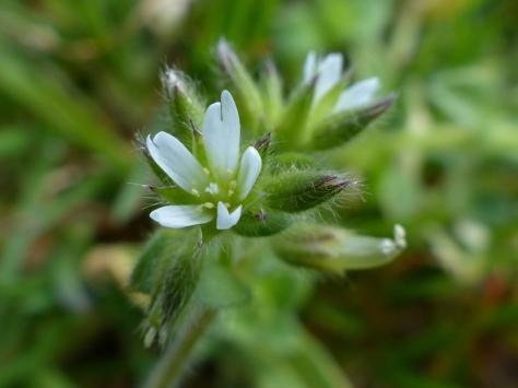 Sticky Mouse Ear (Cerastium glomeratum)
