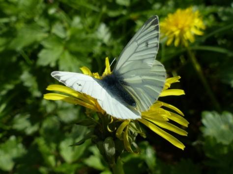 Green-veined White on Dandelion (Taraxacum spp.)